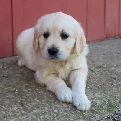 Pending - AKC Golden Retriever pup for sale at St. Joe, Indiana