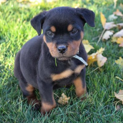 Jack - AKC Rottweiler male doggie for sale at New Haven, Indiana