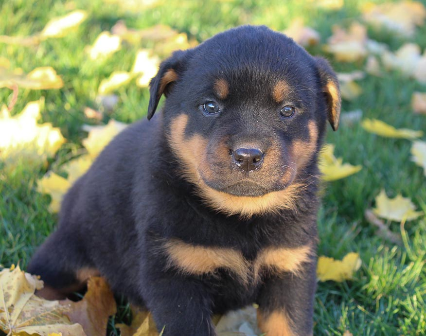 Lacy - AKC Rottweiler pupper for sale near New Haven, Indiana