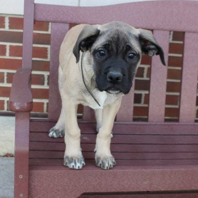 Brenda - AKC English Mastiff pupper for sale near New Haven, Indiana