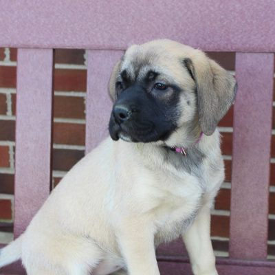 Candy - AKC English Mastiff doggie for sale in New Haven, Indiana