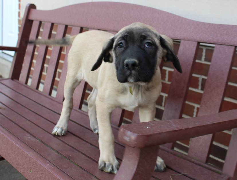 Caylee - AKC English Mastiff pup for sale in New Haven, Indiana