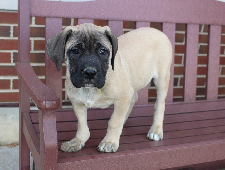 Charlie - male AKC English Mastiff pupper for sale at New Haven, Indiana