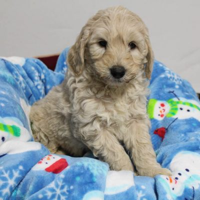 Liam - Mini Goldendoodle doggie for sale near Woodburn, Indiana