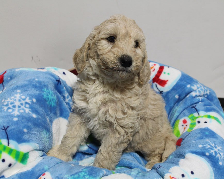 Liam - Mini Goldendoodle doggie for sale near Woodburn, Indiana