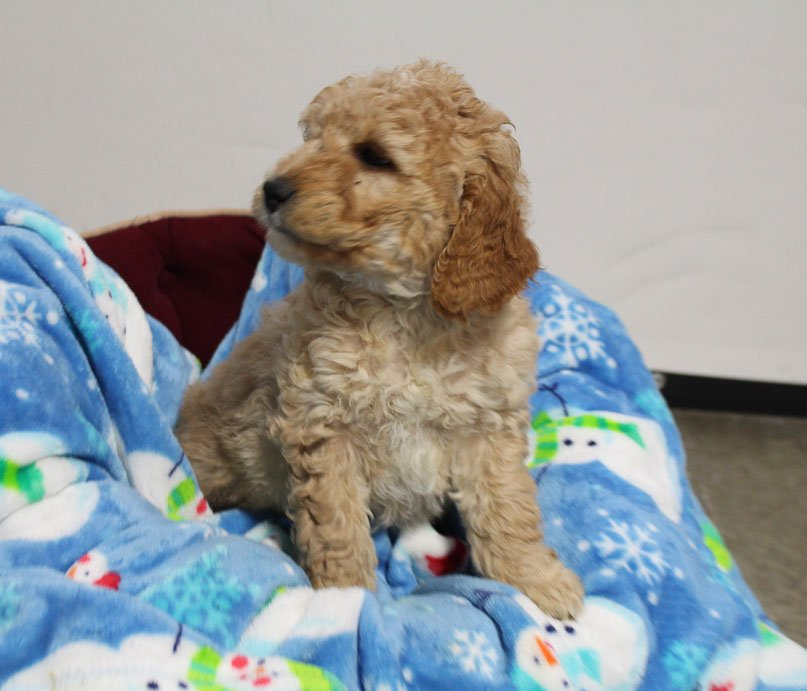 Mia - Mini Goldendoodle puppie for sale in Woodburn, Indiana