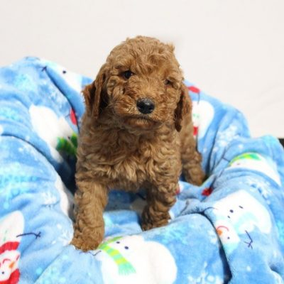 Dax - Mini Goldendoodle puppy for sale at Woodburn, Indiana