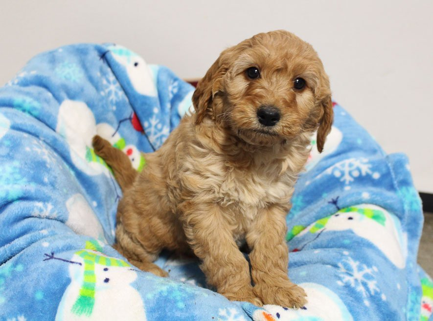 Nikki - Mini Goldendoodle pupper for sale near Woodburn, Indiana