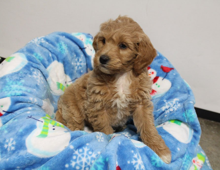 Jaylon - puppie Mini Goldendoodle for sale in Woodburn, Indiana