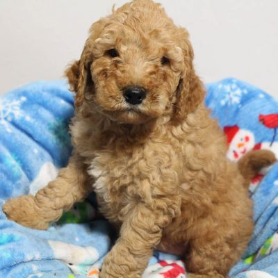 Dexter - male Mini Goldendoodle puppy for sale at Woodburn, Indiana