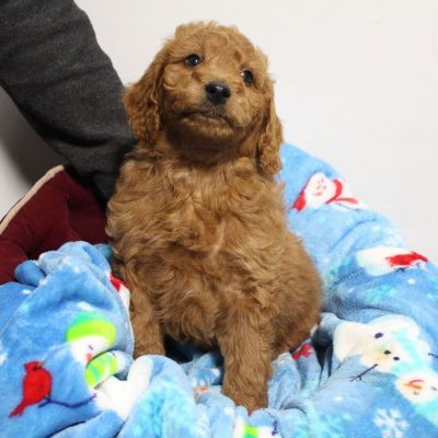Brantley - pup Mini Goldendoodle for sale at Woodburn, Indiana