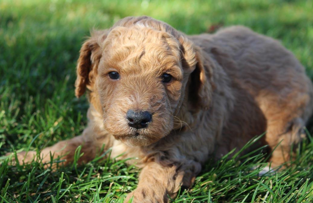 Hunter - Mini Goldendoodle doggie for sale near Woodburn, Indiana