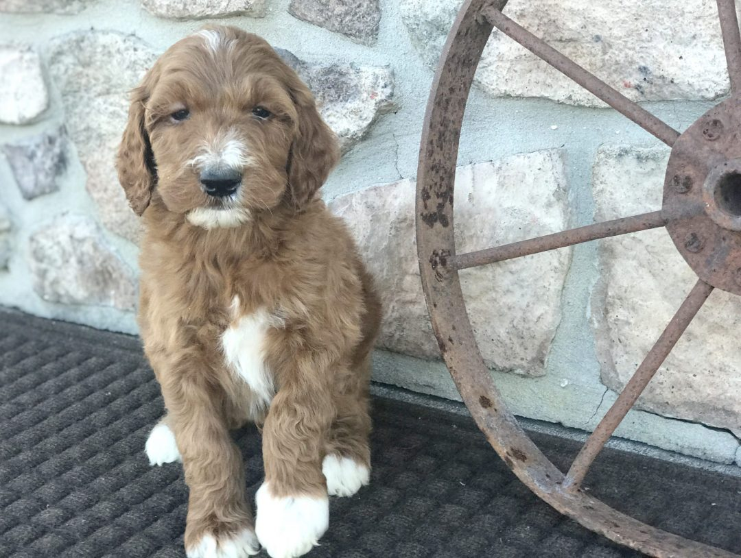 Hector - doggie Irish Doodle for sale in Narvon, Pennsylvania