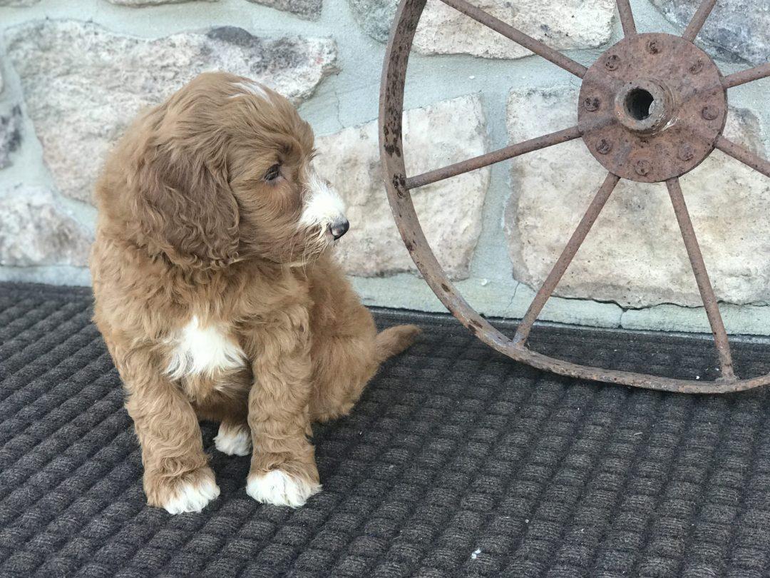 Hanna - Irish Doodle pup for sale at Narvon, Pennsylvania