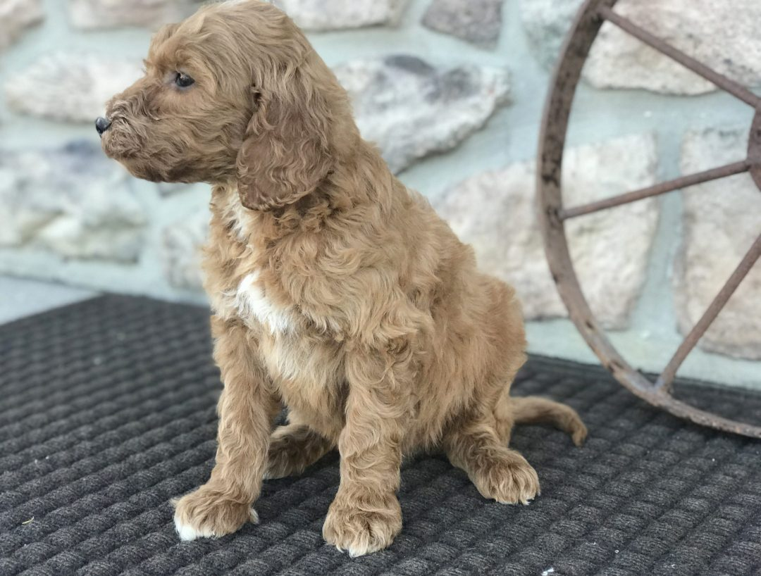 Heather - Irish Doodle puppie for sale near Narvon, Pennsylvania