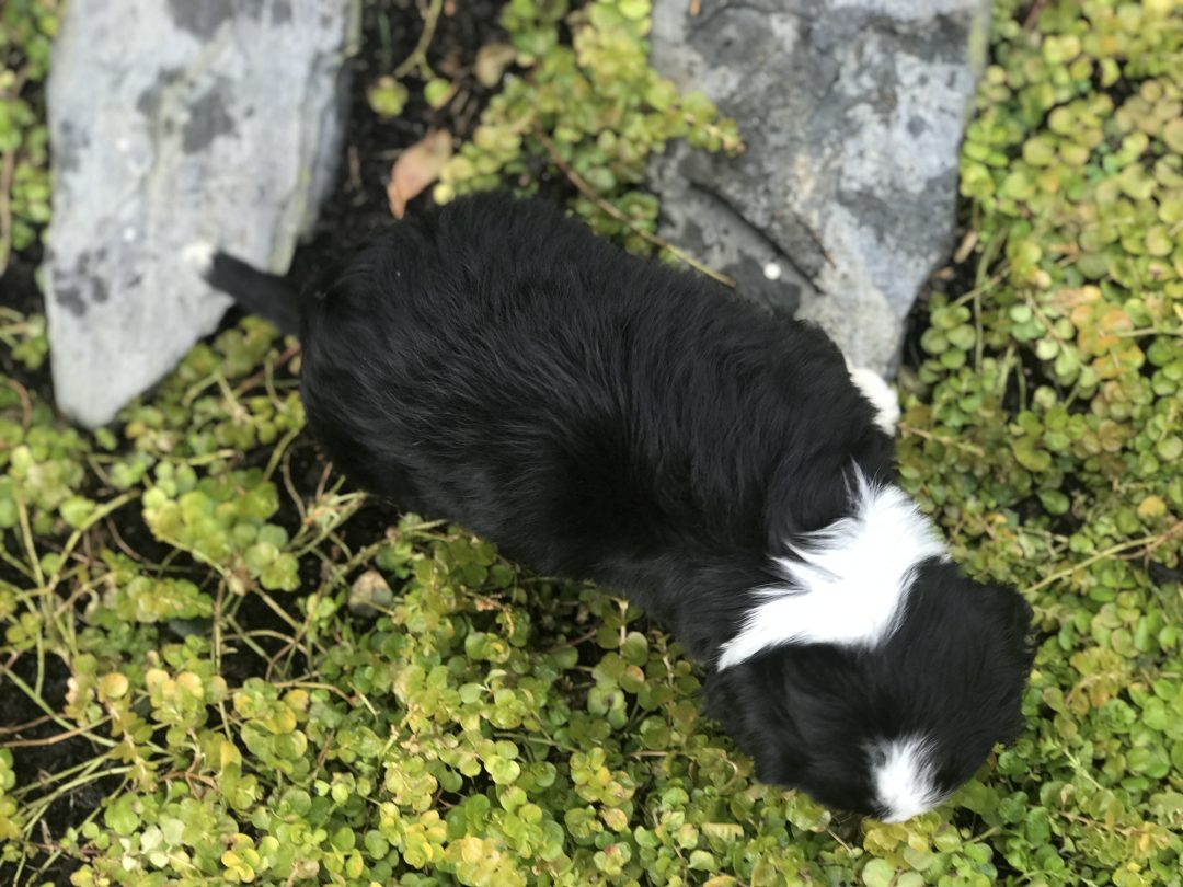 Lane - Mini Bernese Mountain Dog Male Puppy in Gordonville, PA