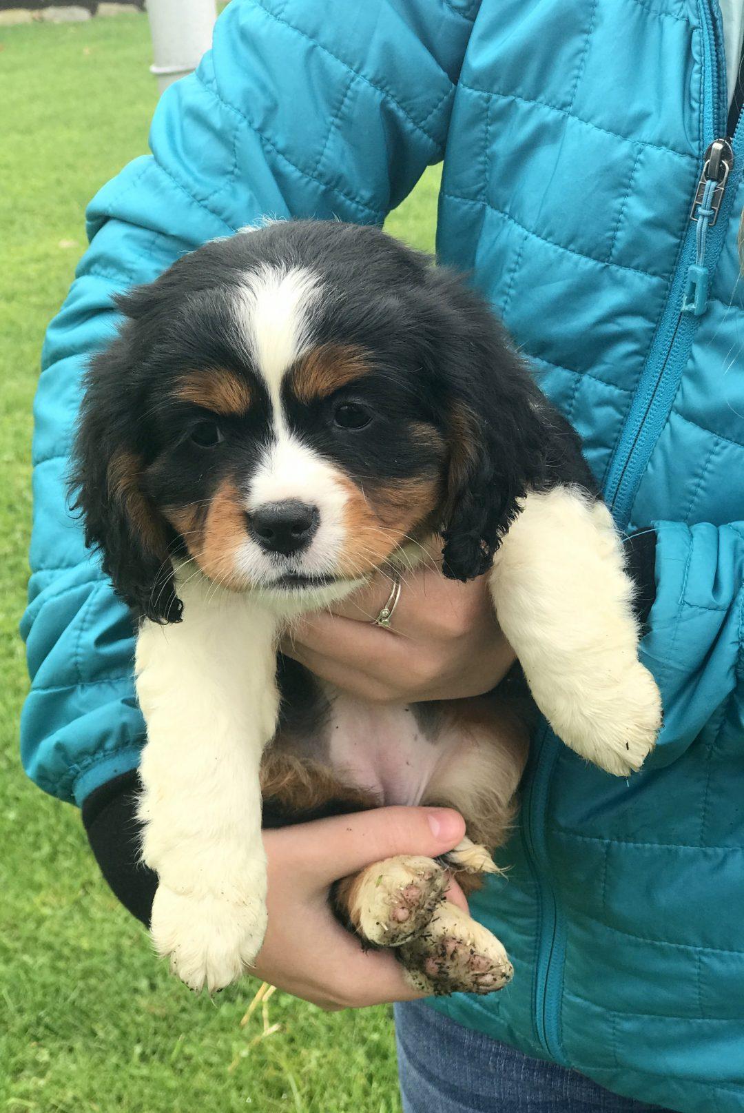 Lacie - Mini Bernese Mountain Dog Female Puppy in Gordonville, PA