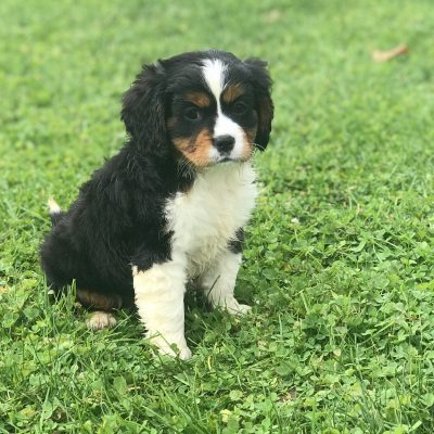 Lacie - Mini Bernese Mountain Dog female puppie for sale near Gordonville, Pennsylvania