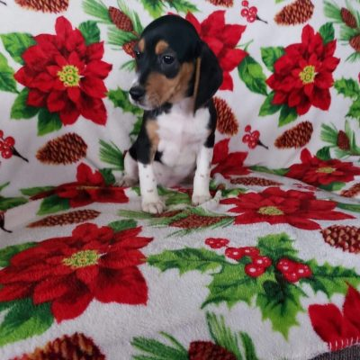 Abby - Beagle puppy for sale near Sunbury, Pennsylvania