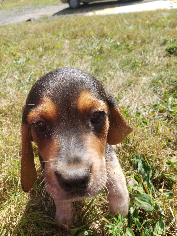 Adam - puppy Beagle for sale in Sunbury, Pennsylvania