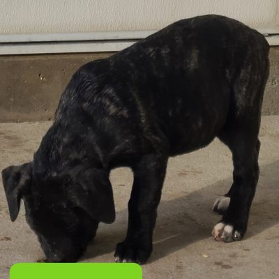 Sophia - ICCF Cane Corso puppy for sale in Grabill, Indiana