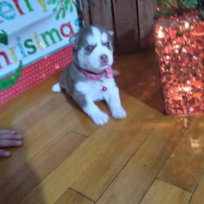 Stella - ACA Siberian Husky female doggie for sale in Grabill, Indiana