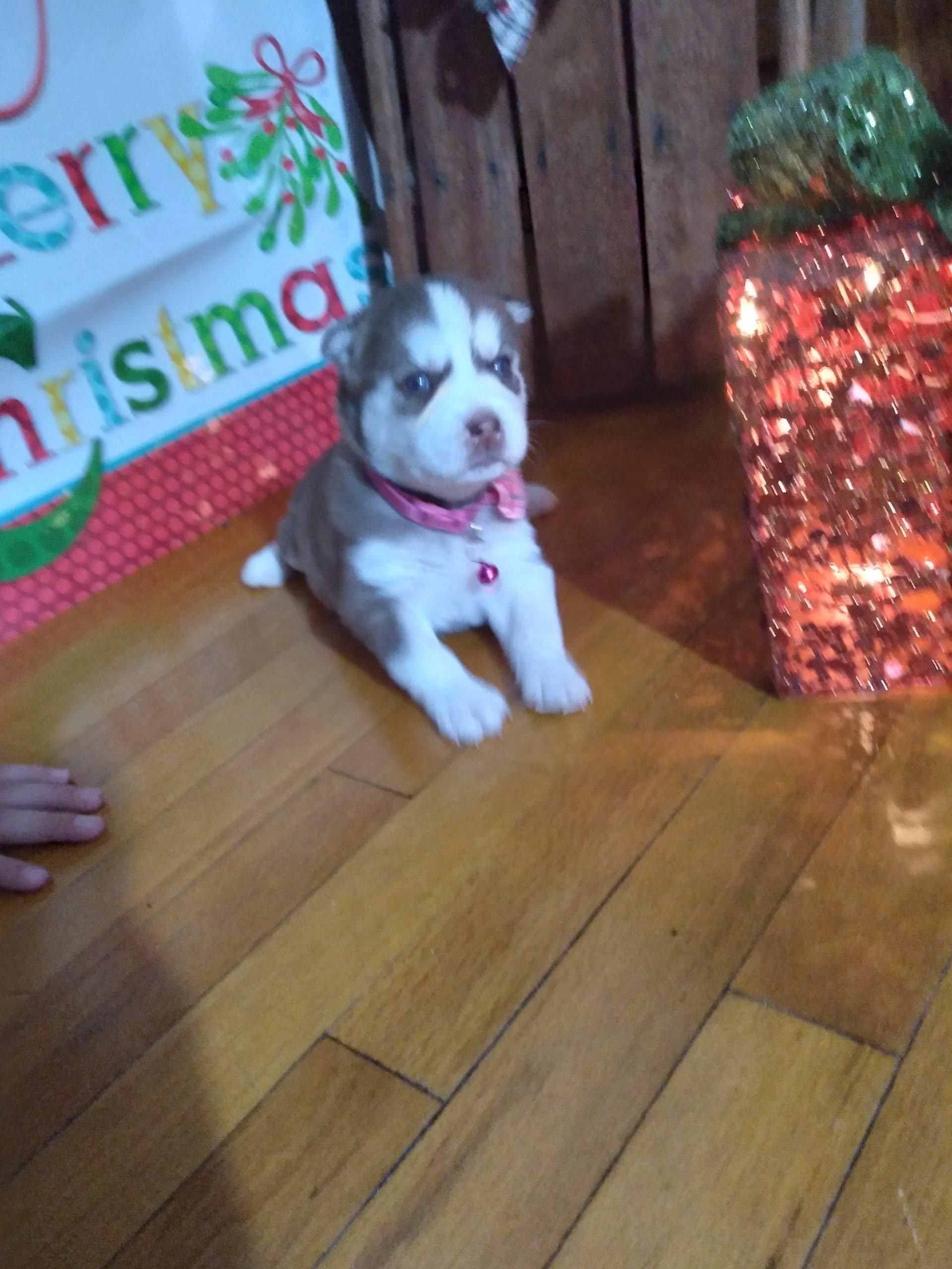 Stella - ACA Siberian Husky female doggie for sale in Grabill, Indiana