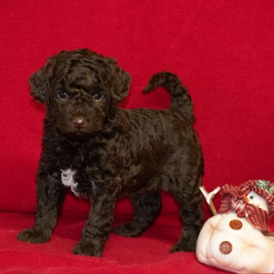 Tyler - puppie Mini Goldendoodle for sale near Meadville, Pennsylvania