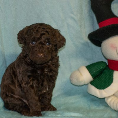 Tiger - Mini Goldendoodle puppy for sale near Meadville, Pennsylvania