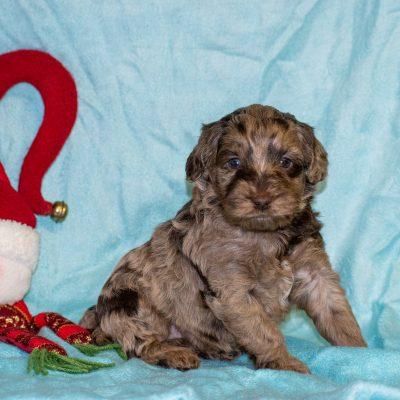 Trent - male Mini Goldendoodle doggie for sale in Meadville, Pennsylvania