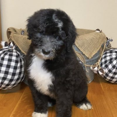 Tan - Sheepadoodle puppy for sale at Belleville, Arkansas