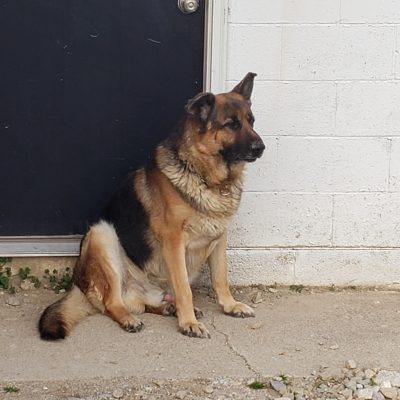Obie From Salvaje - AKC German Shepherd dog for sale near Union City, Ohio
