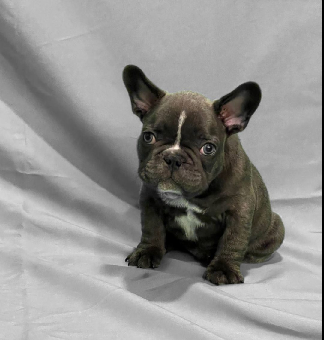 Baby Yoda Small Blue French Bulldog Puppy For Sale In The Tampa Florida Area Vip Puppies
