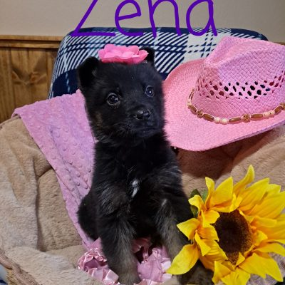 Zena - female AKC German Shepherd pup for sale near New Haven, Indiana