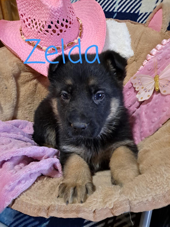Zelda - AKC German Shepherd female puppie for sale in New Haven, Indiana