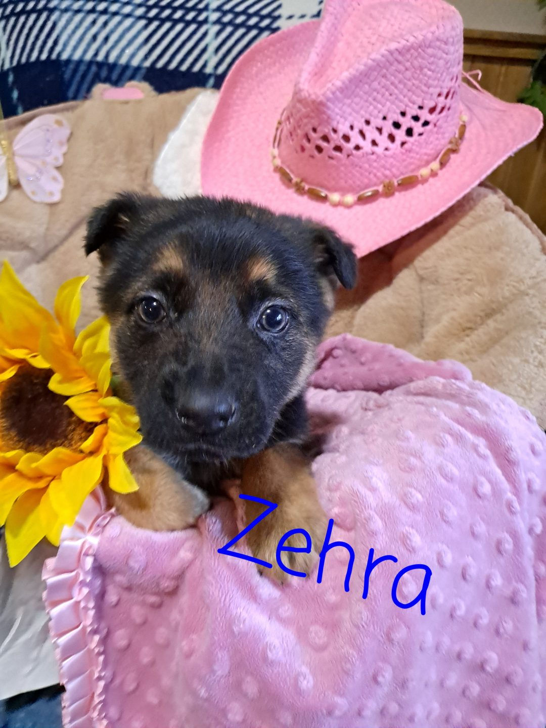 Zehra - AKC German Shepherd puppy for sale at New Haven, Indiana
