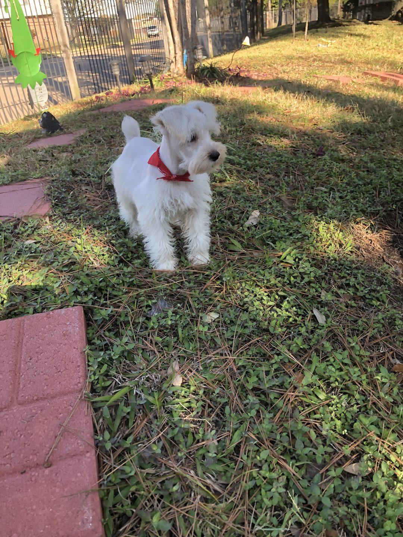 """""""ANNIE"""" - AKC Miniature Schnauzer puppy for sale in Houston, Texas"""