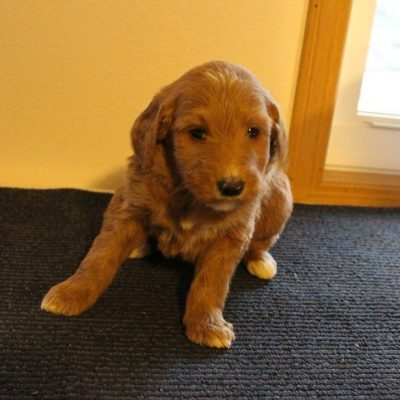 Jimmy - male Goldendoodle pupper for sale at New Haven, Indiana