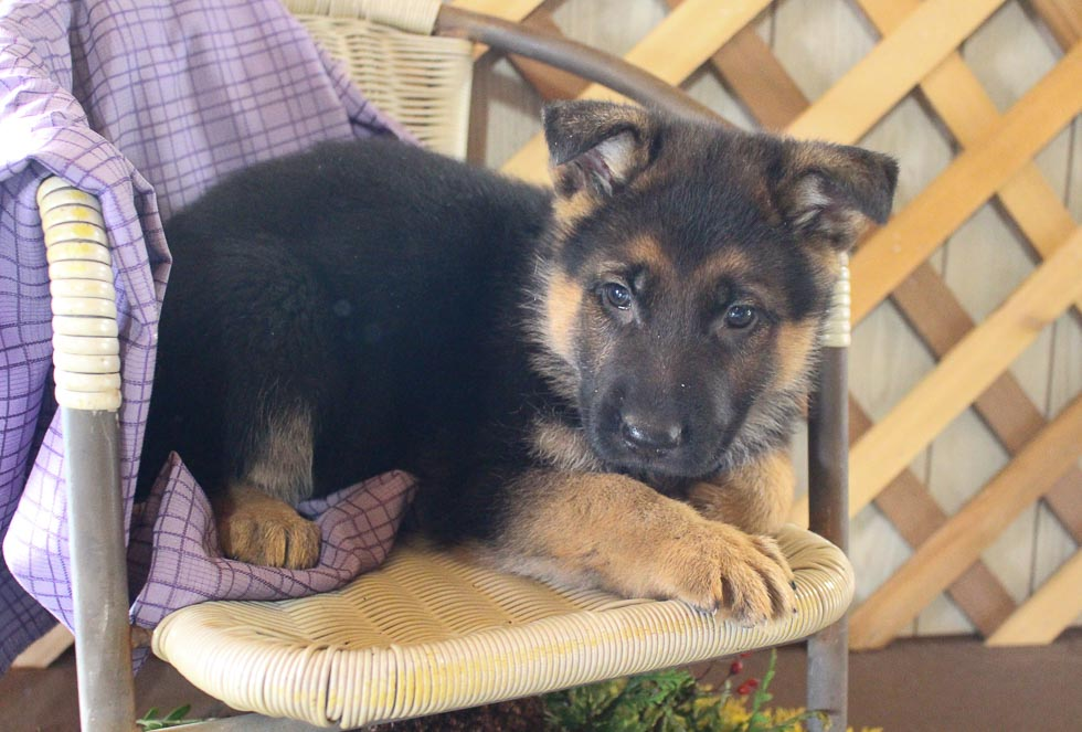 Sally - AKC German Shepherd puppy for sale in Grabill, Indiana