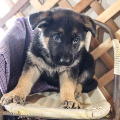Summer - AKC German Shepherd female pup for sale at Grabill, Indiana