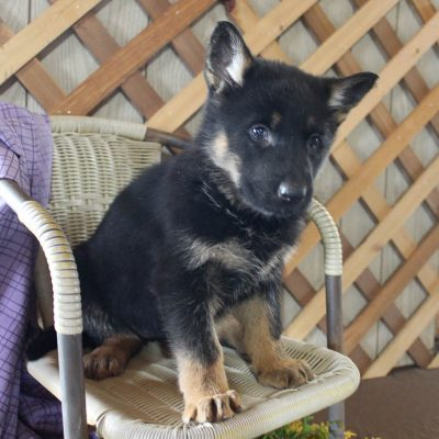 Sophie - pupper AKC German Shepherd for sale near Grabill, Indiana