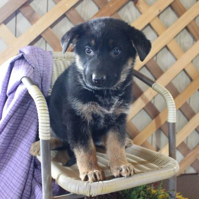 Stella - AKC German Shepherd puppie for sale in Grabill, Indiana