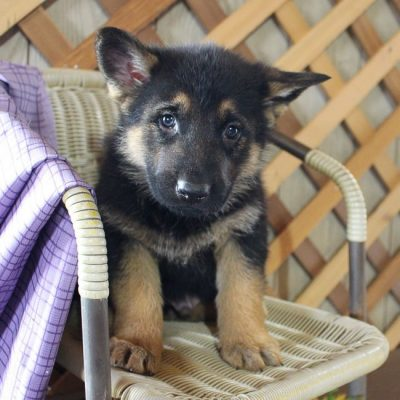 Sparky - male AKC German Shepherd puppy for sale near Grabill, Indiana