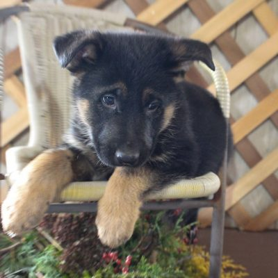 Snicker - AKC German Shepherd male pup for sale in Grabill, Indiana