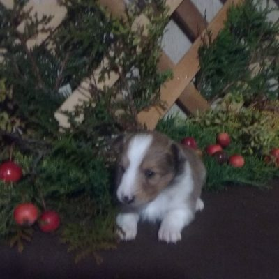 Emma - AKC Shetland Sheepdog female doggie for sale in Grabill, Indiana