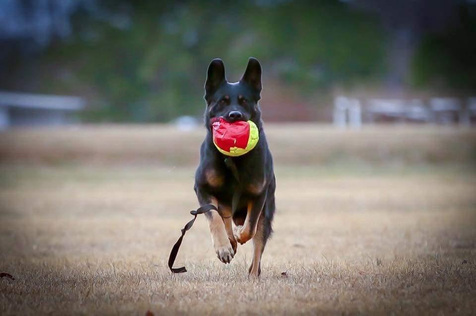Coming Soon - AKC German Shepherd pups for sale in Fuquay Varina, North Carolina