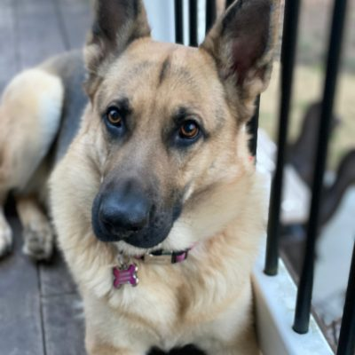 Coming Soon - AKC German Shepherd pups for sale in Fuquay Varina, North Carolina