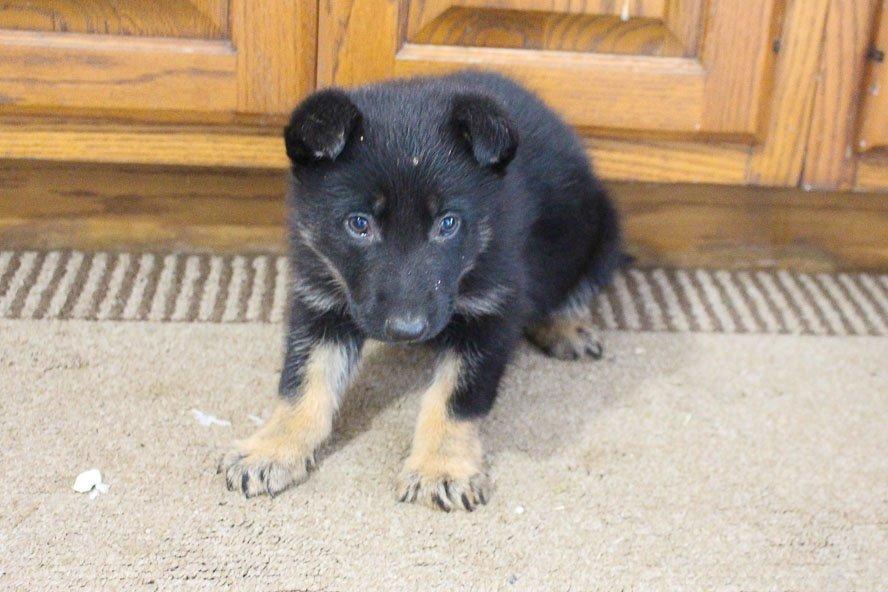 Alicia - AKC German Shepherd puppie for sale near New Haven, Indiana