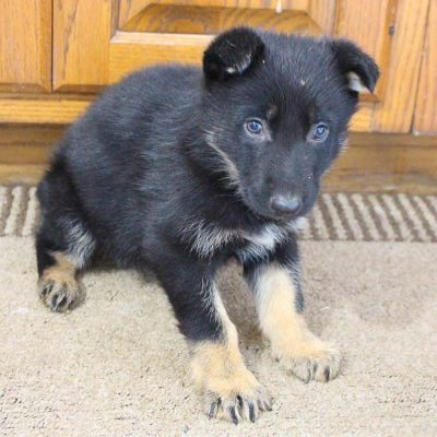 Alicia - AKC German Shepherd puppie for sale near New Haven, Indiana