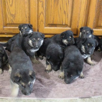 Taylor - AKC German Shepherd male doggie for sale in New Haven, Indiana
